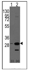 AP12320PU-N - Prohibitin / PHB