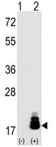 AP11833PU-N - EIF4EBP1 / 4E-BP1