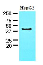 AM09070PU-N - CHI3L1