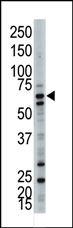 AP12099PU-N - Ubiquilin-3 (UBQLN3)