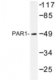 AP06630PU-N - Thrombin receptor / F2R