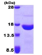 AR09220PU-L - Peroxiredoxin-5 / PRDX5