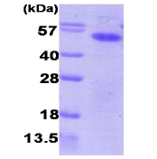 AR09224PU-L - Aurora kinase A