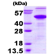 AR09225PU-L - Ataxin-3