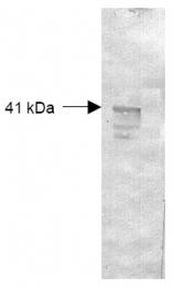 R1077 - Dextranase