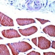 AP15334PU-S - alpha skeletal muscle Actin / ACTA1