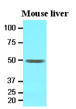 AM09072PU-N - Epoxide hydrolase 1 / EPHX1