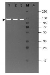 R1064 - Beta-galactosidase tag
