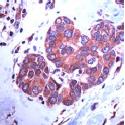 AP15718PU-S - Paxillin /  PXN
