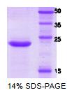 SA6034 - CD158b / KIR2DL3