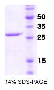SA6038 - CD335 / NKp46