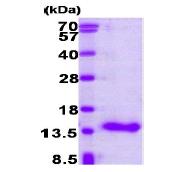 AR09232PU-L - CRABP1