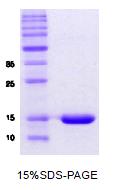 SA6004 - Alpha-Synuclein / SNCA