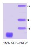 SA6008 - Alpha-Synuclein / SNCA