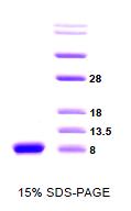 SA6010 - Alpha-Synuclein / SNCA