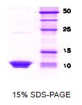 SA6022 - HSBP1 / HSF1BP