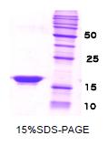 SA6011 - Beta-Synuclein / SCNB