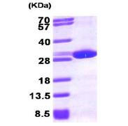 AR09237PU-L - Peroxiredoxin-6 / PRDX6
