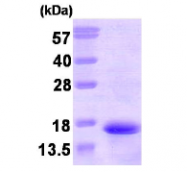 AR09243PU-L - Neurokinin B / TAC3