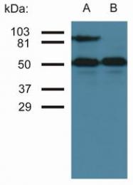 BM2448P - CD54 / ICAM1