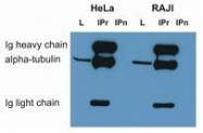 SM3001P - alpha Tubulin / TUBA1B