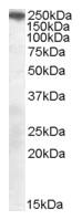 AP15879PU-N - Sortilin-related receptor (SORL1)