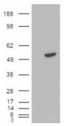 AP15895PU-N - B-cell linker protein / BLNK
