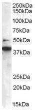 AP15909PU-N - Endophilin-B1