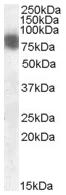 AP15943PU-N - Cortactin