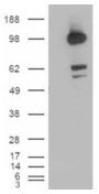 AP15947PU-N - CD318 / CDCP1
