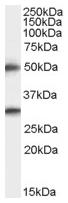 AP15980PU-N - TMPRSS5 / Spinesin