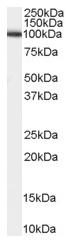 AP15994PU-N - CD156b / ADAM17