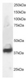 AP16006PU-N - Septin-3 (SEPT3)