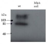 AP16024PU-N - Melanophilin