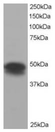 AP16027PU-N - Flotillin-1 / FLOT1