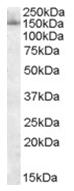 AP16051PU-N - SF3B3 / SAP130