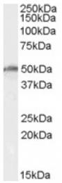 AP16997PU-N - DEAD box protein 19A / 19B