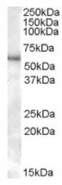 AP17029PU-N - P2RX4 / P2X4