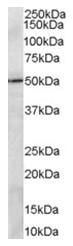 AP16087PU-N - PRDM11 / PFM8