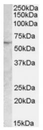 AP17033PU-N - PNPLA2 / ATGL