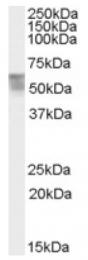 AP17056PU-N - THRA / ERBA1