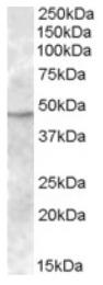 AP17059PU-N - TMPRSS4