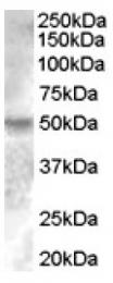 AP16923PU-N - Estrogen-related receptor gamma