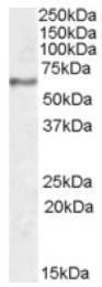 AP16929PU-N - Synaptotagmin-1