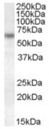 AP16940PU-N - Granulins (GRN)