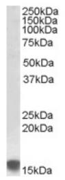 AP16941PU-N - Sulfiredoxin-1