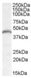 AP16954PU-N - PNPLA3 / ADPN