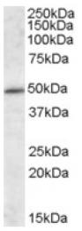 AP16963PU-N - HIP1-interacting protein