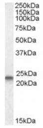 AP16967PU-N - Caveolin-3
