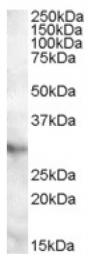 AP16974PU-N - APOA1BP